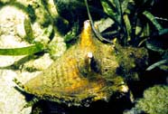 Image of a queen conch