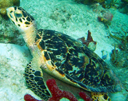Photograph of a juvenile hawksbill turtle