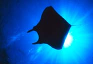 Image of a manta ray