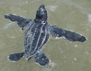 Photograph of a baby leatherback turtle