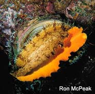 Image of an abalone