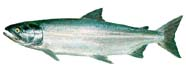 Image of a salmon