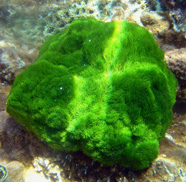 photograph of green algae