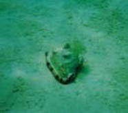 Photo of helmet conch feeding on an algal mat