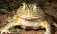 Image of bullfrog