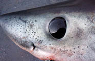 Image of shark head