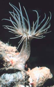 Image of sea anemone