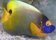Photo of a yellowmask angelfish