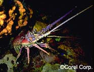 Image of spiny lobster