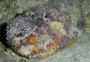 Photograph of a stonefish with anticryptic coloration