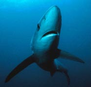 Image of blue shark