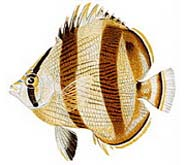 Image of butterflyfish