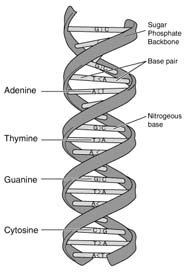 Diagram of base pairs in DNA