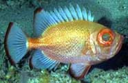 Photograph of  short bigeye