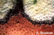 Image of black band disease