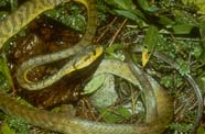Image of brown tree snake