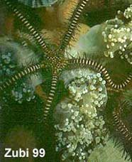 Photo of black brittle star