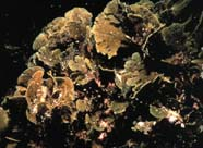Image of brown algae