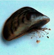 Image of mussel