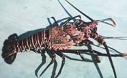 Image of a spiny lobster