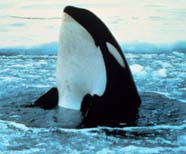 Image of a killer whale