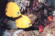 Image of butterfly fishes (Chaetodontidae)