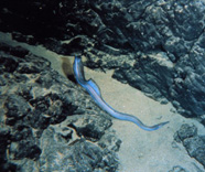 a reef eel in a sand channel