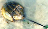 Image of a horseshoe crab