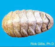 Image of a chiton