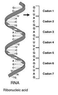 Diagram of RNA codons