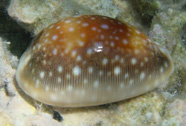 Photograph of a cowry shell