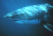 Image of a white shark