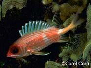 Image of a squirrelfish
