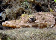 Close up photo of Crocodilefish (Papilluliceps longiceps)