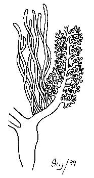 Illustration of Cuvierian tubules
