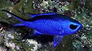 Photo of blue chromis