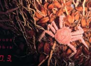 Image of spider crab