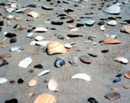 Image of detritus (broken shells) on beach