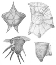 Illustration of dinoflagellates