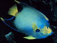 Image of a queen angelfish