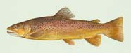 Image of trout