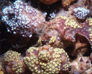 Image of encrusting tunicate colony