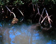 Image of mangrove roots