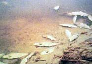 Image of fish kill resulting from eutrophic conditions
