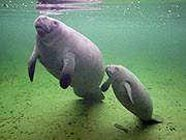 Image of manatee and pup