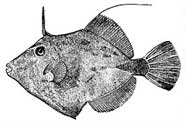 Illustration of the plainhead filefish