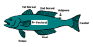 Diagram of paired fins on fish