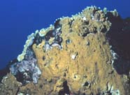 Image of brown fire coral