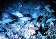 Image of fish on Oculina Banks