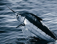 Photograph of a blue marlin